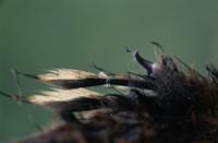 ツメバケイのヒナの羽についている爪の痕跡 アップ