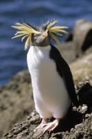 冠羽を逆立てたイワトビペンギン