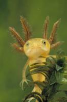 クシイモリの幼生 毛の生えたえらのような構造を持つ