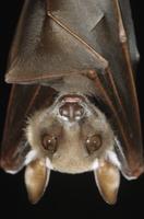 オナシケンショウコウモリの顔