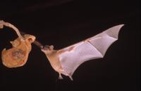 餌に向かって飛ぶオナシケンショウコウモリ