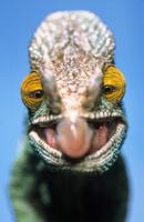 獲物に狙いを定め、舌で捕えようとしているパーソンカメレオン
