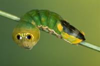目玉模様を見せるカイコガの仲間 幼虫