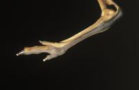 オオカンガルーの足のアップ