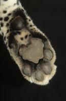 ヒョウの足のアップ