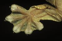 クールトビヤモリ(パラシュートゲッコー)の足の裏のアップ   32258003051| 写真素材・ストックフォト・画像・イラスト素材|アマナイメージズ