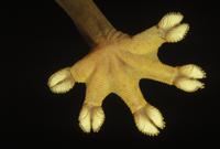 スジヘラオヤモリの足の裏のアップ  粘着力のあるうろこがつい 32258003052| 写真素材・ストックフォト・画像・イラスト素材|アマナイメージズ