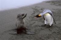 ナンキョクオットセイの子供を威嚇するオウサマペンギン(キング