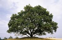 ヨーロッパナラ(オウシュウナラ)の大木の四季:夏