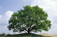ヨーロッパナラ(オウシュウナラ)の大木の四季:春