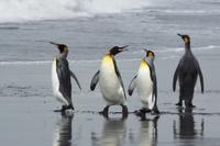 波打ち際を歩くオウサマペンギン(キングペンギン)のグループ