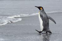 浜辺を歩くオウサマペンギン(キングペンギン)