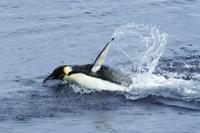 海面を泳ぐコウテイペンギン(エンペラーペンギン)