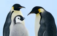 コウテイペンギン(エンペラーペンギン)の親子