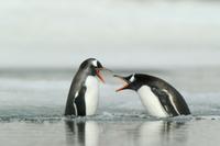 浅瀬でケンカをする2羽のジェンツーペンギン