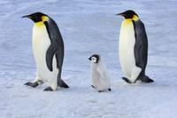 ヒナを連れて歩くコウテイペンギン(エンペラーペンギン)の親