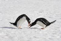 雪の上でケンカをする2羽のジェンツーペンギン