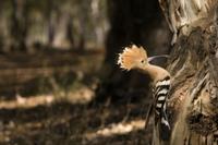 ヒナに与える昆虫をくわえて巣穴のそばにとまったヤツガシラ 32258003457| 写真素材・ストックフォト・画像・イラスト素材|アマナイメージズ