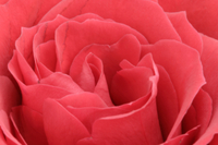 バラの花 32258003566| 写真素材・ストックフォト・画像・イラスト素材|アマナイメージズ