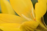 開花したクロクス・ベルヌス