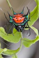 硬いトゲで覆われたトゲグモの仲間