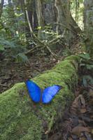 苔むした倒木にとまるモルフォチョウの仲間