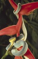 ヘリコニアの仲間の花に巻き付くシンリンハブの仲間
