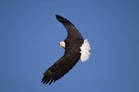 真っ青な空を背景に飛ぶハクトウワシ