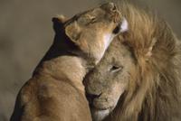 ライオンのつがいの求愛行動