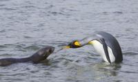 浅瀬で対峙するナンキョクオットセイの幼獣とオウサマペンギン(