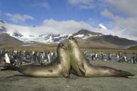 オウサマペンギン(キングペンギン)の集団の前で力だめしをする 32258003859| 写真素材・ストックフォト・画像・イラスト素材|アマナイメージズ