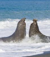 波打ち際で闘う繁殖期の2頭のミナミゾウアザラシのオス