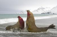 メス(雌)を取り合ってケンカするミナミゾウアザラシのオス 32258003945| 写真素材・ストックフォト・画像・イラスト素材|アマナイメージズ