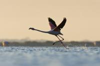 朝焼けの中を飛び立つオオフラミンゴ(ヨーロッパフラミンゴ)