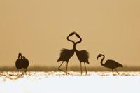 夜明けに首をからませるオオフラミンゴ(ヨーロッパフラミンゴ)