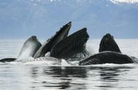 採餌するザトウクジラの群れ