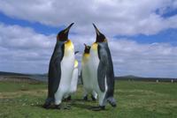 求愛行動するオウサマペンギン(キングペンギン)のグループ