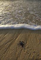 孵化後、海に向かうアオウミガメの幼体 32258004009| 写真素材・ストックフォト・画像・イラスト素材|アマナイメージズ