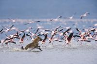 コフラミンゴの群れを追いかけるブチハイエナ