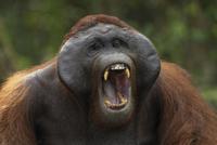 口を大きく開けて鳴くりっぱなフランジ(頬だこ)を持つボルネオ 32258004104| 写真素材・ストックフォト・画像・イラスト素材|アマナイメージズ