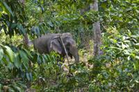 熱帯雨林で働くアジアゾウ