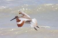 飛翔する繁殖羽のハジロオオシギ