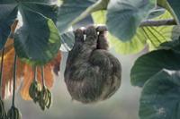 セクロピアの木で眠るノドチャミユビナマケモノのメス