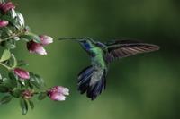 花に近づくミドリハチドリ