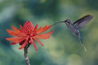 デイゴの花粉を食べ、授粉するミドリユミハチドリ