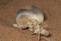 バッタを食べるサバクキンモグラ