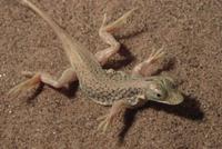 スキハナカナヘビ(アポロトカゲ) 体温調節のために熱い砂丘の 32258004502| 写真素材・ストックフォト・画像・イラスト素材|アマナイメージズ