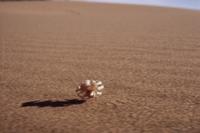 キンイロマワリアシダカグモの仲間 砂丘を転がって敵から逃げる