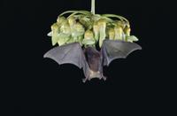 花に来るアンダーウッドシタナガコウモリ