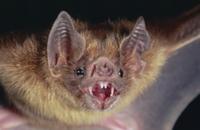 ナミチスイコウモリの顔